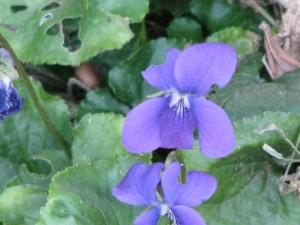 Sweet violets.