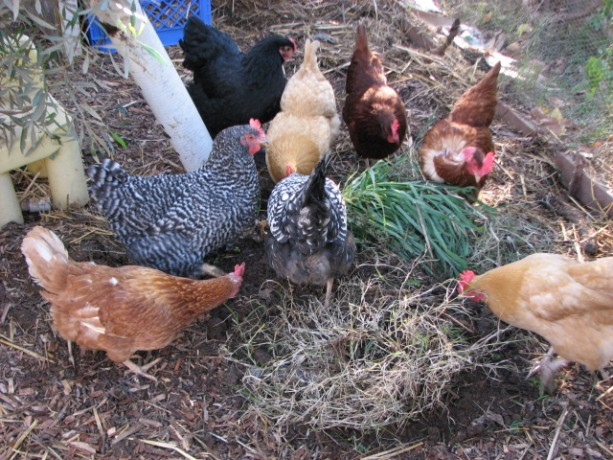 The girls love to root through weeds and the bug-filled dirt around their roots.