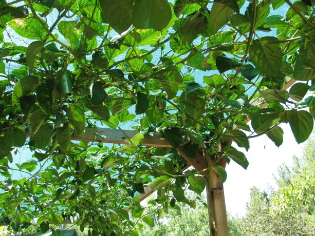 Passionfruit vines work beautifully on overhead trellises.  Wire is strung the length of the trellis, with shade cloth over the top.  The vines don't need any help to fill up the gaps.