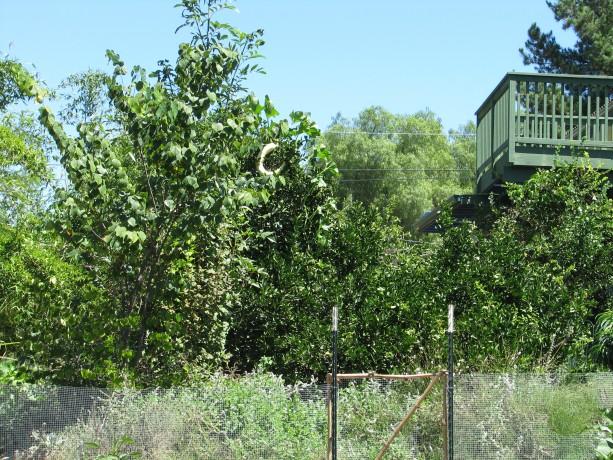 Strange fruit in this lime tree?