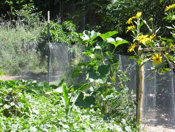 T-posts and hardware cloth around the kitchen garden adds so much more growing space, and keeps critters out.  Delicata squash is enjoying the late summer sun.