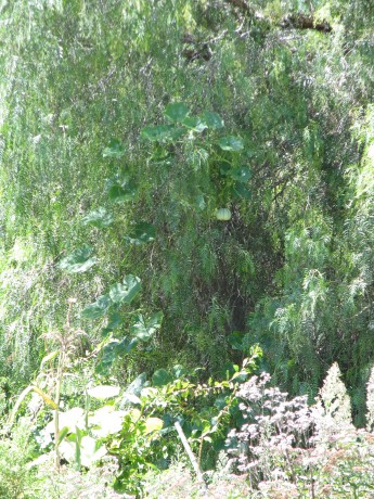 Um... that is definately a pepper tree.  But what is hanging in it?