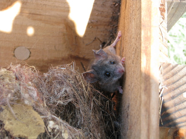 I disturbed a couple of nesting mice in one of  the unused Kenya bee  hives.