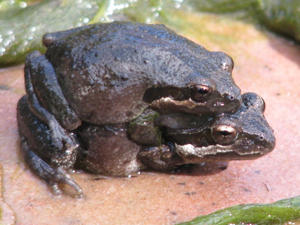Native Pacific Chorus Frogs enjoying our clean pond at Finch Frolic Garden.