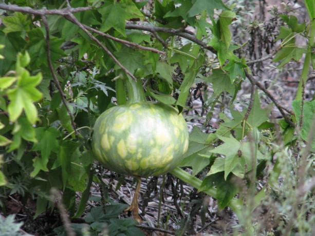 A gourd in a liquidamber.