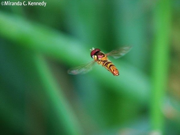 Hoverflies (Family Syrphidae) are one of our best pollinators.