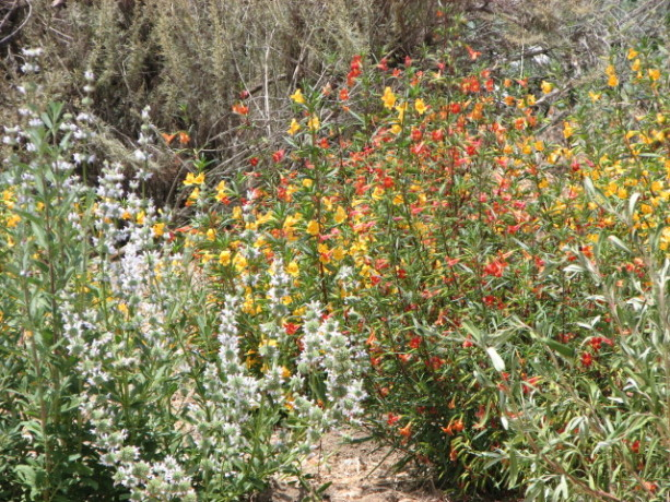 California native sage and penstemon make great insectiaries.