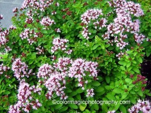 Oregano doesn't spread as much as other mints do, and can be kept in check by harvesting. Look closely at the blooms in summer and you'll see lots of very tiny insects pollinating!