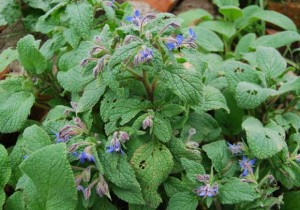Borage is edible, medicinal, lovely and reseeds.