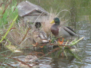 The Mallards checking out the duck island.