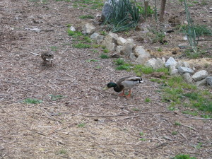 Mrs. Mallard leading her mate all over the property as he protects her.