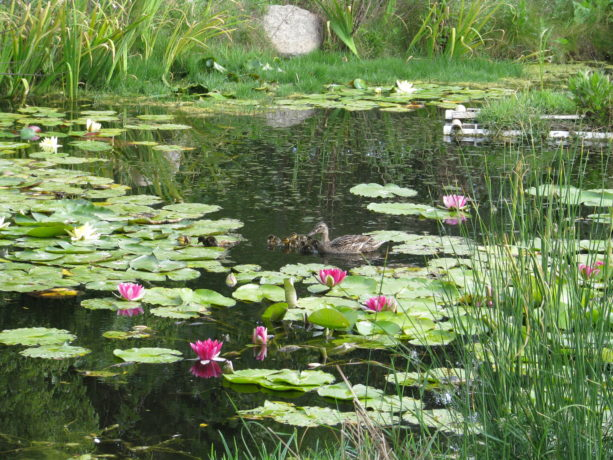 Mrs. Mallard returned today, introducing her very young ducklings to our pond!