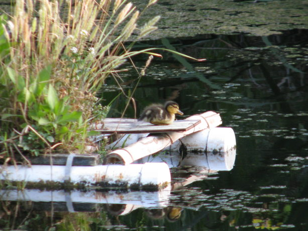 This little one is so tempted to get back in the water, but he or she resists.  Its been a tiring day.