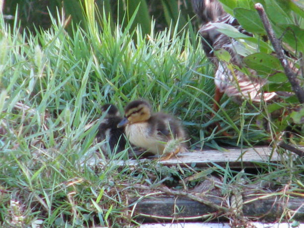 The ducklings are in an array of colors, from light yellow and grey to all dark.