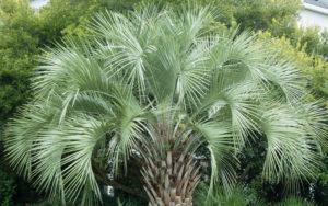 palm-pindo-1